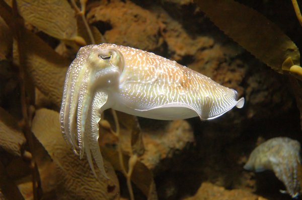 Cuttlefish: I took this a while back at Singapore Aquarium. One of the comments was it was too grainy, so here it is again thanks to Neat Image (Great prog.. thanks SXC).NB: Credit to read