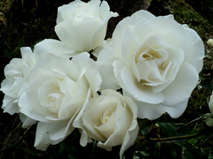 White rose 1: White rose in my garden