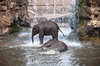 Playing in the water: Young elephants playing in the water.