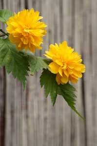 couple of yellow flowers: flowers of Keria japonica