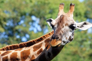 giraffe: Giraffe in new zoo in Poznan (Poland)