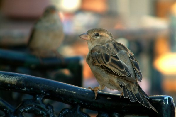 Bird in Egipt: Egiptian sparrow sitting on chair`s back
