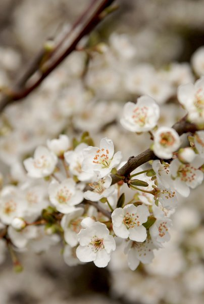 flowering spring: flowering tree of wild plum - Prunus species.