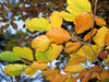 a branch of autumn leaves: a branch of autumn leafs on a beech tree