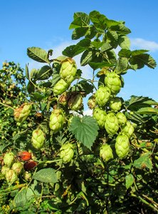 hops plant: hops plant - Humulus lupulus