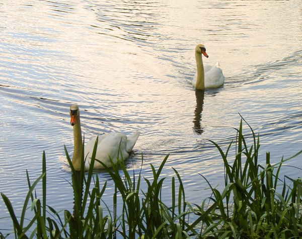 a pair of swans 2: a pair of swans 2