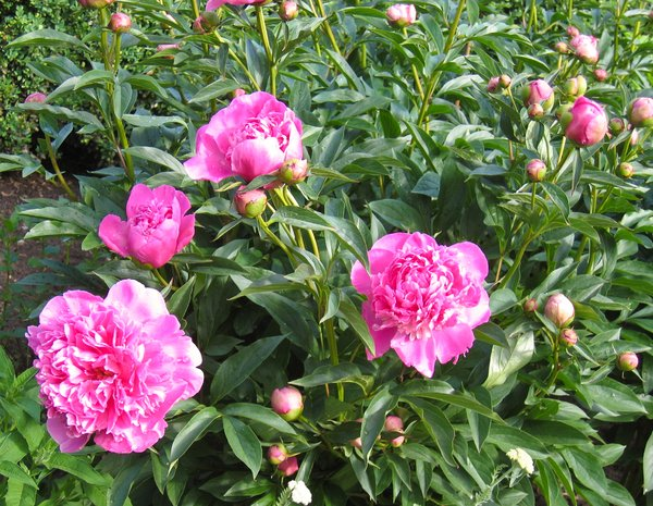 Free Stock Photos Rgbstock Free Stock Images Bush Of Peony