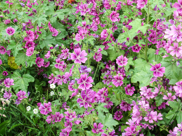 Free Stock Photos Rgbstock Free Stock Images Pink Mallow Bush