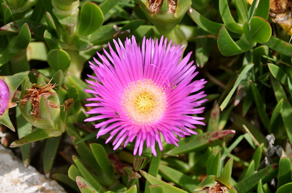 Hottentot fig 1: Carpobrutus acinaciformis at the Island Kefalonia, Greece
