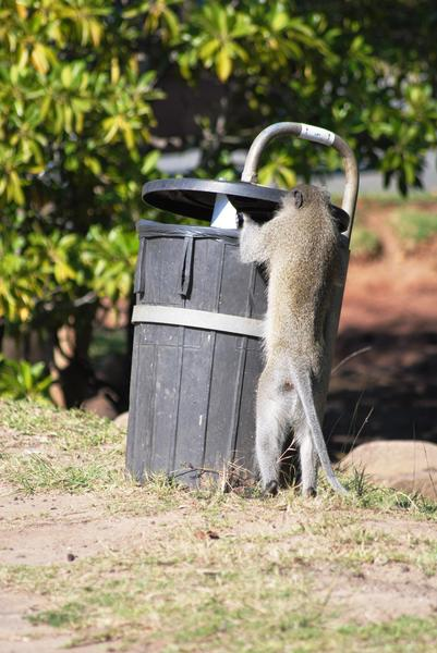 Rubbish Bin Digger: Monkey digging in rubbish bin