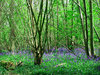 bluebell woods: A woodland scene showing a carpet of bluebells