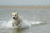 Dogs at the sea side 4: Golden retrievers spending holidays at the sea side