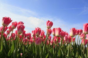 Tulips: Tulips on Queen's Day (30 april) in Holland