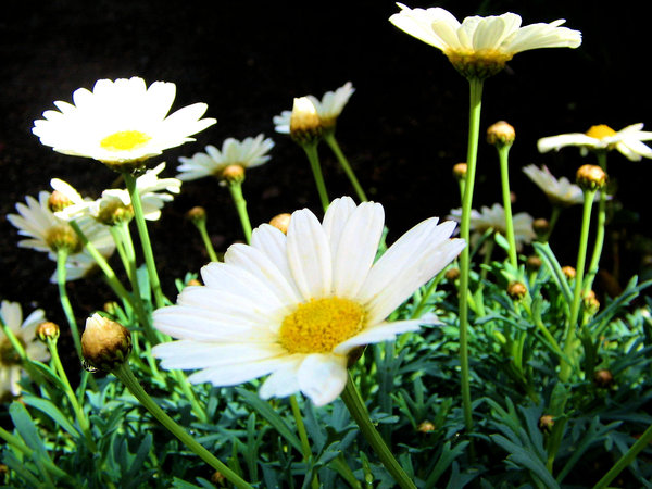 Oxeye daisy: Oxeye daisies in back of garden. Looks like they're each having a party on their own.