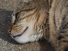 mammal: a close-up of a cats head laying down
