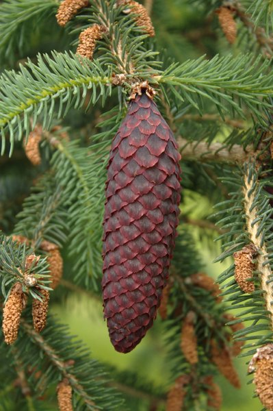 Free Stock Photos Rgbstock Free Stock Images Purple Pine Cone
