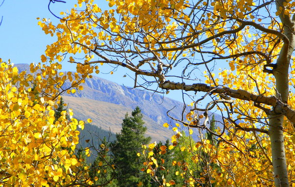 Colorado Aspen: The aspen leaves in the mountains not too far from Idaho Springs, CO. September 18, 2010. The trees turned a week or so early this year because the summer was especially dry towards the end. They say the trees will finish turning early as well.