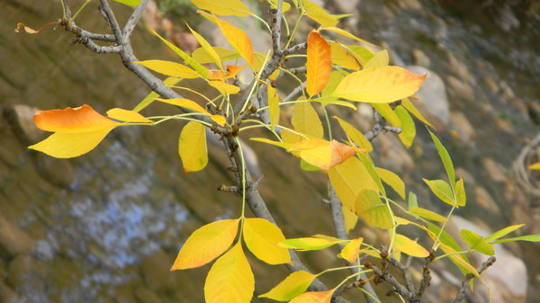 Leaves over the river: Leaves over Bear Creek.