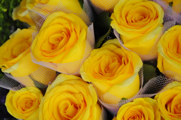 Free Stock Photos Rgbstock Free Stock Images Yellow Rose