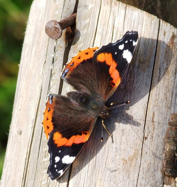Red Admiral  2: Red Admiral Butterfly resting on a wooden post