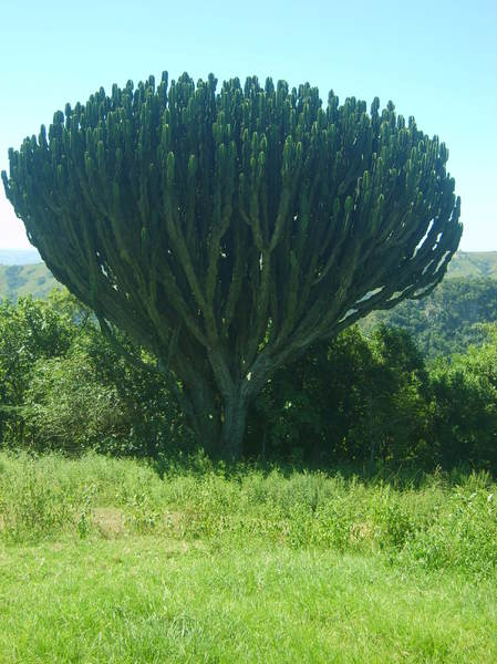 Cactus Tree: Cactus Tree in Valley of a Thousand Hills, South Africa