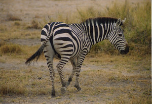 Zebra 1: A meeting in Amboseli National Park (Kenya)