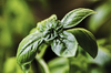 Fresh Basil: New group of fragrant basil leaves on potted plant.