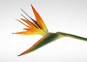 Bird of Paradise: An artificial flower in front of a light panel.