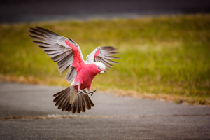 Touch Down Galah: The Pink and Grey Galah is one of the most common and widespread cockatoos in Australia. Photo taken Murwillumbah NSW Australia