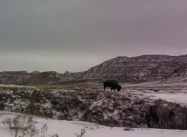 The Range: Lone buffalo grazes in a wintery landscape.