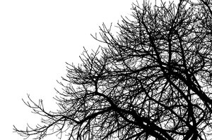 Branches 1: High contrast silhouette of tree branches.