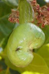 cashew and the ant: This period of flowering fruit called cashew