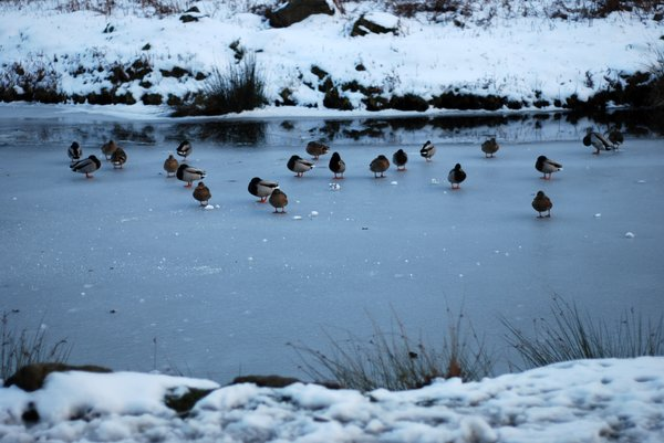 frozen river with ducks 2: a river freezes over.