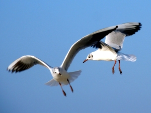 Sea Gulls: Sea gulls at the beach in Dubai