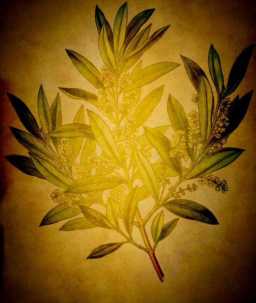 Olive: Botanical drawing of an olive branch was used for this background