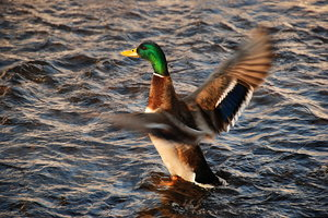 Duck od the water: The Mallard, or Wild duck (Anas platyrhynchos), probably the best-known and most recognizable of all ducks