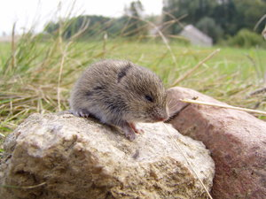 little one: meadow vole