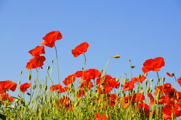 summer flowes: poppies in blue sky