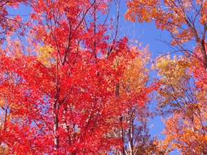Fall Colors 2: The sun shining through the trees against a blue sky