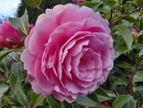 Free Stock Photos Rgbstock Free Stock Images Camellia Blooms