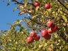Apples in the sun: Red apples on the appletree in sunny weather