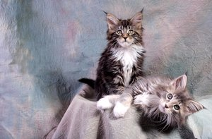 Maine coons kittens: 11 weeks old - and a blast. 11 weeks old.