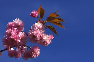 Cherry flowers: Flowers from a cherry tree against a dark blue sky
