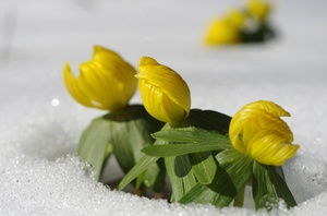 Winter aconite in snow: Winter aconite breaking through the snow