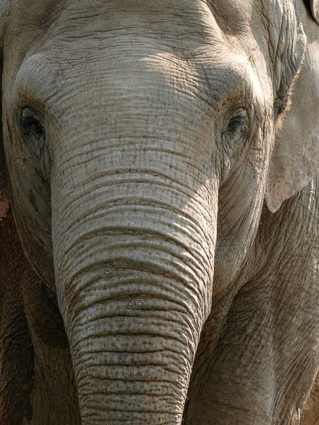 Elephant: Elephant in ZOO - using an old, russian lens (Jupiter 37A)