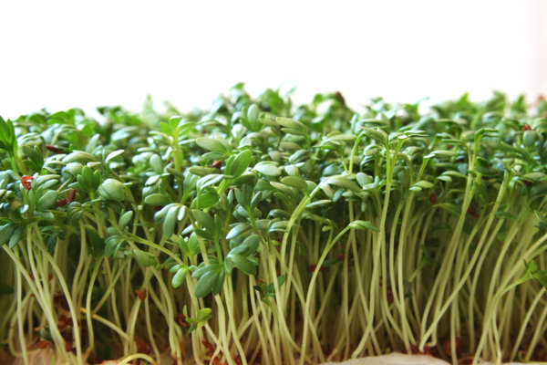 cress: fresh and tasty