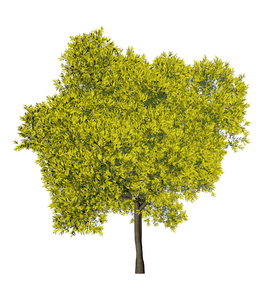 Silver wattle-spring: tree collection : Silver wattle-spring