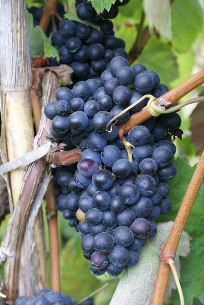 Grape 4: Grapes from Madeira