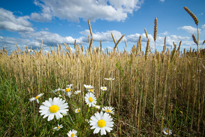 Chamomile on the Edge of Wheat: Wild Chamomile on the Edge of Wheat Field
