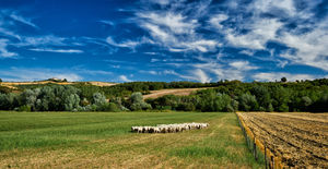 Tuscany Landscape: Field Landscape with Sheeps in Tuscany, Italy. Hills with Farmhouse in the Background.